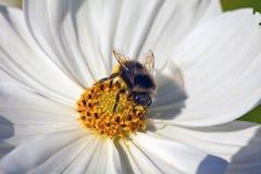 Flor blanca del cosmos. Fotografía de archivo