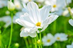 Flor blanca del cosmos Fotos de archivo libres de regalías