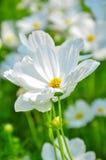 Flor blanca del cosmos Fotografía de archivo