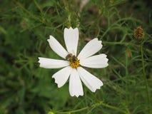 Flor blanca del cosmos y una abeja Fotos de archivo