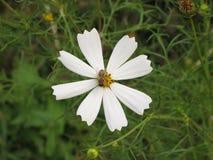 Flor blanca del cosmos y una abeja Fotos de archivo libres de regalías