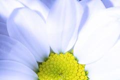 Flor blanca del crisantemo con textura amarilla del fondo del primer de la base Base amarilla de una flor blanca del crisantemo e Foto de archivo