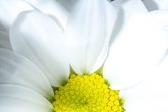 Flor blanca del crisantemo con textura amarilla del fondo del primer de la base Base amarilla de una flor blanca del crisantemo e Imagen de archivo