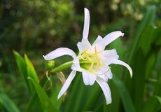Flor blanca del daylily foto de archivo