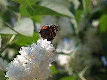 Flor blanca del flor de la lila en el verano en un jardín en la guarida aan IJssel de Nieuwerkerk en los Países Bajos Foto de archivo