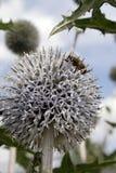 Flor blanca del diente de león con la abeja Imagen de archivo