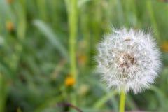 Flor blanca del diente de león en hierba verde unfocused Primer de la flor Macro blanca del blowball Campo y fondo del prado Foto de archivo libre de regalías
