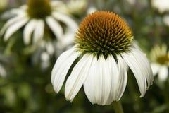 Flor blanca del echinacea en un día soleado Foto de archivo libre de regalías