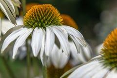Flor blanca del echinacea en un día soleado Fotos de archivo