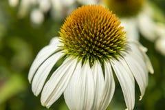 Flor blanca del echinacea en un día soleado Fotografía de archivo libre de regalías