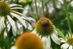 Flor blanca del echinacea en un día soleado Foto de archivo