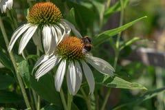 Flor blanca del echinacea en un día soleado Imagen de archivo libre de regalías