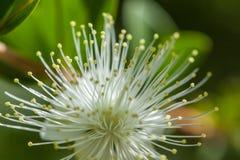 flor blanca del flor en bosque del arz en Líbano del norte Fotografía de archivo