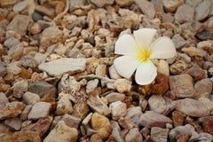 Flor blanca del frangipani en el fondo de piedra Imagen de archivo