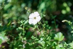 Flor blanca del geranio Imagen de archivo libre de regalías