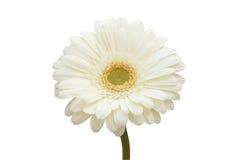 Flor blanca del gerbera. imagen de archivo