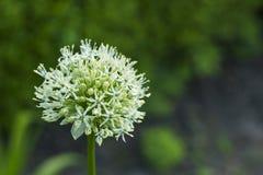 Flor blanca del giganteum del allium Fotografía de archivo