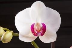 Flor blanca del híbrido de los cultivares del Phalaenopsis de la orquídea del primer Foto de archivo