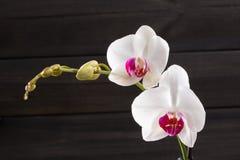 Flor blanca del híbrido de los cultivares del Phalaenopsis de la orquídea del primer Foto de archivo libre de regalías