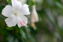 Flor blanca del hibisco Imágenes de archivo libres de regalías