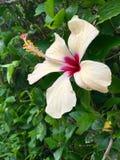 Flor blanca del hibisco Fotografía de archivo