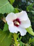 Flor blanca del hibisco Imagenes de archivo