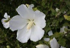 Flor blanca del hibisco Fotografía de archivo libre de regalías