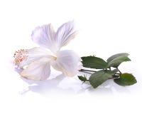 Flor blanca del hibisco aislada en el fondo blanco Fotos de archivo