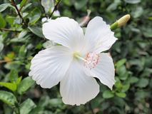 Flor blanca del hibisco que florece en el jardín Flor blanca en Fotos de archivo