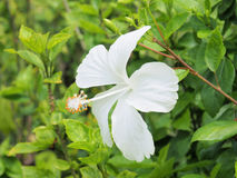 Flor blanca del hibisco que florece en el jardín Flor blanca en Fotos de archivo libres de regalías
