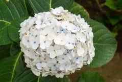 Flor blanca del Hydrangea Imágenes de archivo libres de regalías