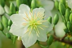 Flor blanca del integerima del Ochna Imágenes de archivo libres de regalías