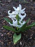 Flor blanca del jacinto Imágenes de archivo libres de regalías