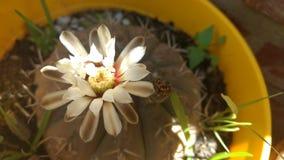 Flor blanca del jardín de un cactus fotos de archivo