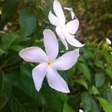 Flor blanca del jazmín Imágenes de archivo libres de regalías