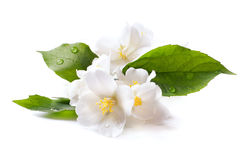 Flor blanca del jazmín en el fondo blanco Imagenes de archivo