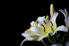 Flor blanca del lilium en el primer negro del fondo Imagenes de archivo