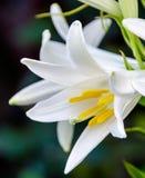 Flor blanca del Lilium (miembros cuyo son los lirios verdaderos) Imágenes de archivo libres de regalías