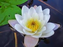 Flor blanca del lirio Imagen de archivo