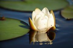 Flor blanca del lirio Imagenes de archivo