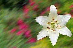 Flor blanca del lirio de día Fotos de archivo libres de regalías