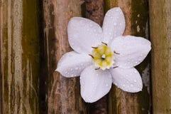 Flor blanca del lirio del Amazonas en la madera de bambú Imagen de archivo libre de regalías