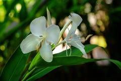 Flor blanca del lirio del jengibre Foto de archivo