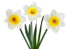 Flor blanca del narciso Imagen de archivo libre de regalías