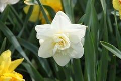 Flor blanca del narciso Fotografía de archivo
