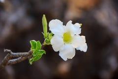 Flor blanca del obesum del Adenium Fotografía de archivo