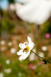 Flor blanca del otoño con la abeja Estación del otoño Fotografía de archivo libre de regalías