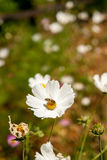 Flor blanca del otoño con la abeja Estación del otoño Imágenes de archivo libres de regalías