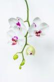Flor blanca del phalaenopsis de la orquídea Imagen de archivo libre de regalías