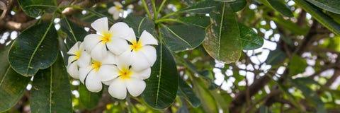 Flor blanca del Plumeria imagen de archivo